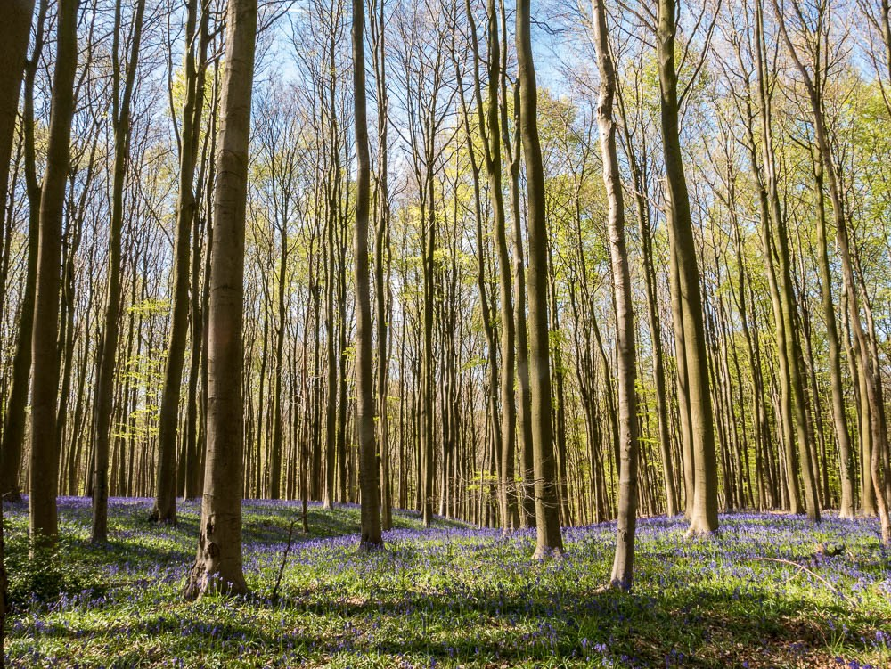Photo of Hallerbos, one of the best things to do in Belgium