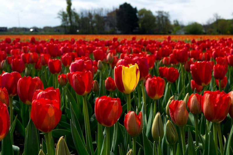 Insider tips for how to see the tulip fields in the Netherlands using public transportation from Amsterdam. Includes free tulip field walking route near Keukenhof and directions to the Dutch tulip fields from Amsterdam.