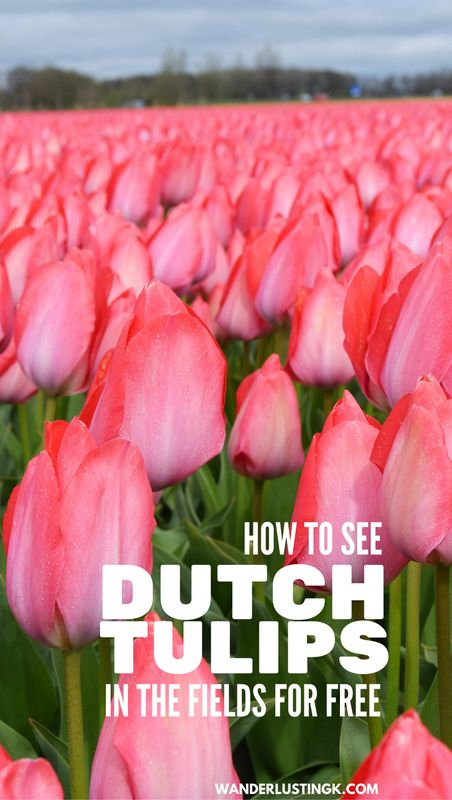 Tips on how to see the tulip fields in the Netherlands as a day trip from Amsterdam! Insider tips on how to see the Dutch tulips for free! #travel #netherlands #Amsterdam #tulips