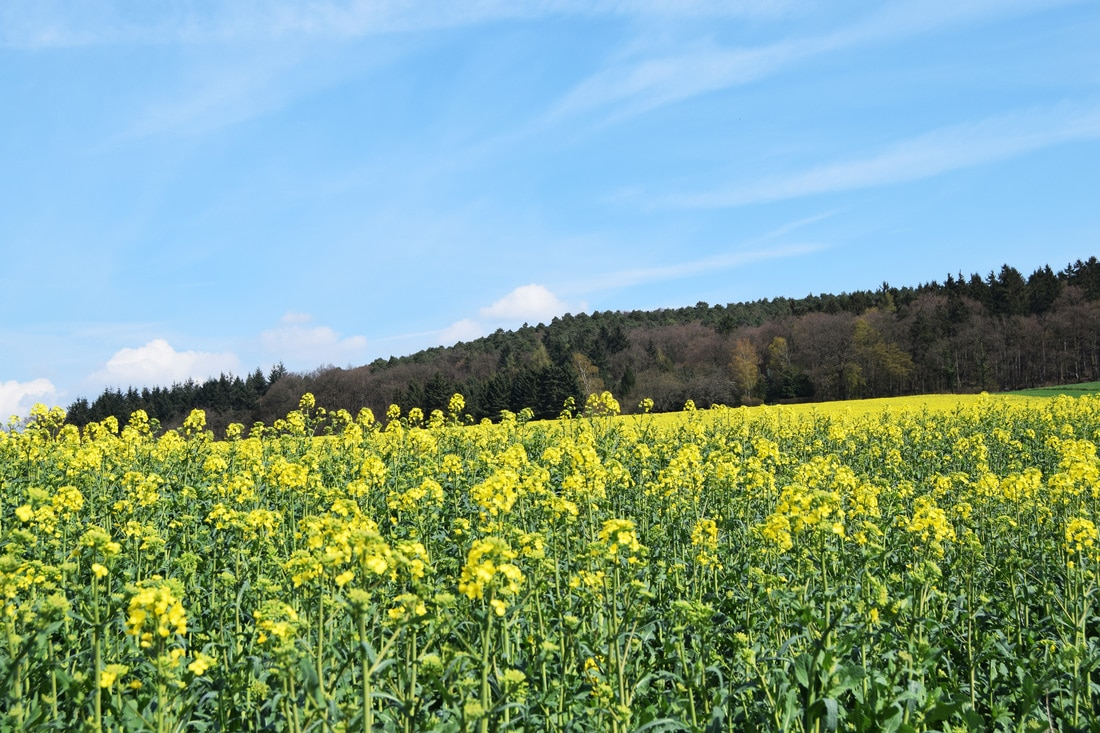 Photo of Canola Fields in the Rhine Valley region of Germany.