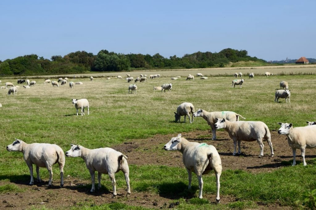 Photo of sheep on Texel in the Netherlands. Texelse Schapenkaas is produced from sheep milk from Texel sheep!