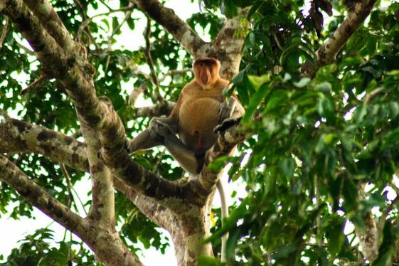 Photo of Proboscis monkey. Read your complete Borneo packing list with tips for what clothes to wear for jungle trekking and what to pack for Borneo.