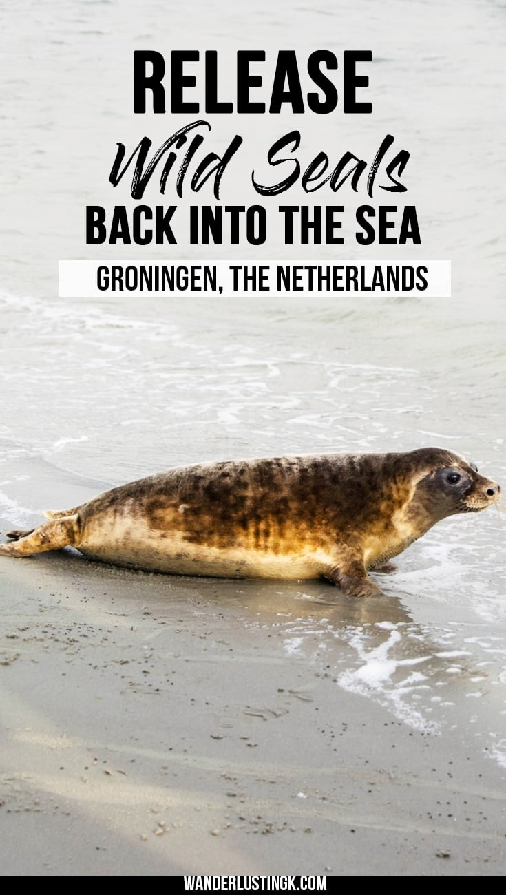 Add this ethical animal attraction to your bucket list: Release wild seals back into the Wadden Sea in the Netherlands with the Pieterburen Seal Sanctuary.