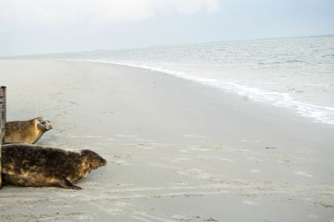 Rehabilitated seals by Wadden Sea. (Zeehonden naast de Waddenzee). Ethical animal experiences in the Netherlands for ecotourists visiting holland.