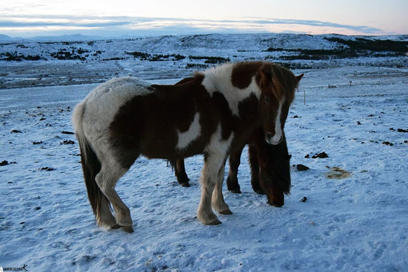 Icelandic horses. Find out about the best road trip in Iceland and driving in winter in Iceland.