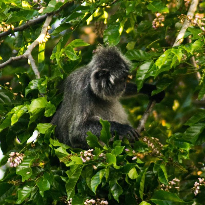 Silver leaf monkey in Bako National Park. Find out about how much it costs to visit Bako National Park + travel tips for visiting Bako on a budget