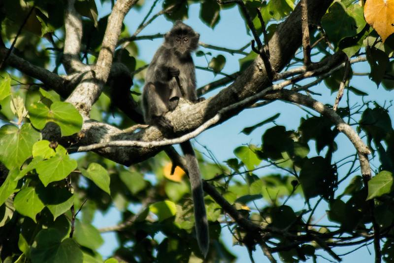 Photo of silver leaf monkey in Bako National Park. Find out about the Bako National Park entrance fee and what to pack for Bako National Park.