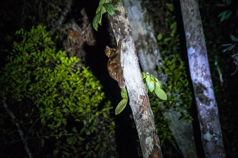 Flying lemur in Bako National Park. Should you visit Bako for 1 day or stay 3 days in Bako National Park? Find about the night walk in Bako & Bako Lodging