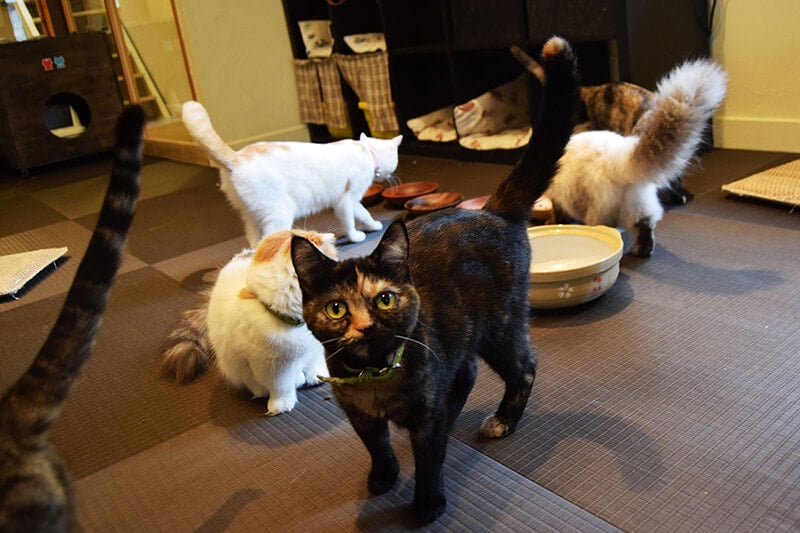 Cats at cat cafe in Japan. Read about splurges to cut in Japan and how to travel in Japan on a budget.