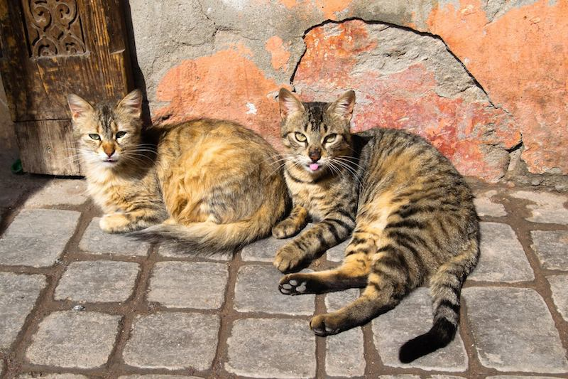 Cats in Marrakech Morocco. Read tips for how to spend three days in Marrakech Morocco! #cats #travel