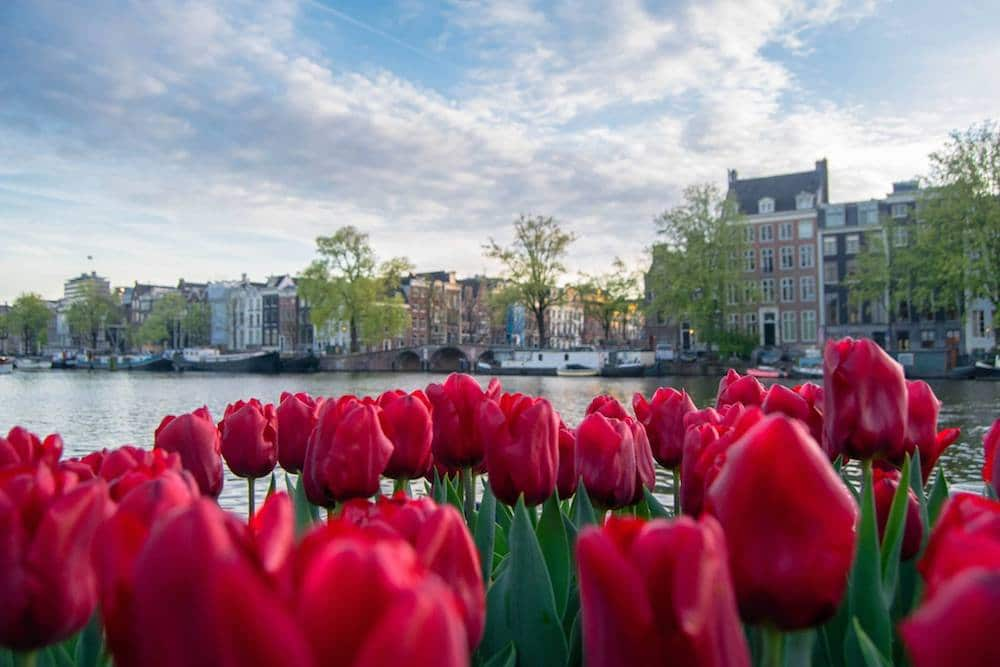 Tulips in Amsterdam canals. Read insider tips for visiting Amsterdam on a budget with tips for things to do for free in Amsterdam! #amsterdam #netherlands #travel