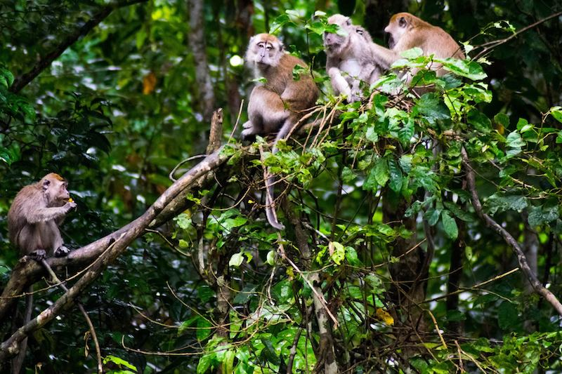 Wild monkeys in Borneo. Read the best things to do in Borneo with a complete itinerary for one month in Borneo!