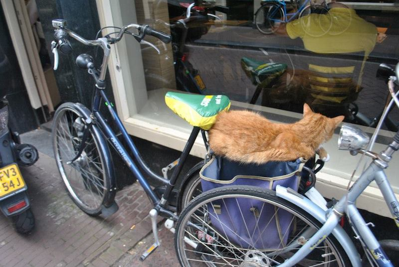 Cat on bike in Amsterdam, the Netherlands. Considering renting a bike in Amsterdam? Read 20 things to know before biking in Amsterdam.
