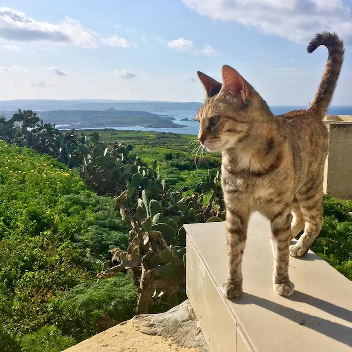 Beautiful cat in Gozo Malta with view of Comino in Malta. Read about why you must visit Gozo during your trip to Malta and what to do during four days in Malta! #travel #malta #gozo #comino #cats