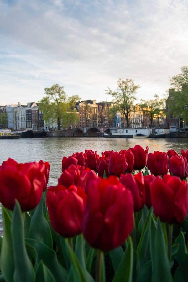Tulips in Amsterdam. Planning travel to the netherlands? Insider tips on what you need to know before you visit Amsterdam or Holland! #travel #netherlands #amsterdam