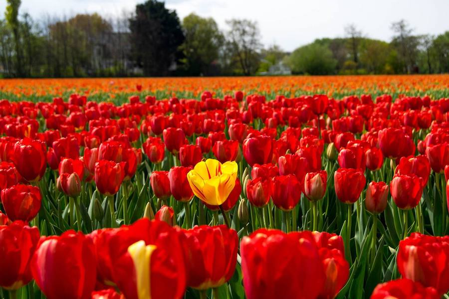 Tulips in the Netherlands. Read insider tips for visiting the Netherlands written by a Dutch resident. #travel #tulips #netherlands #Holland