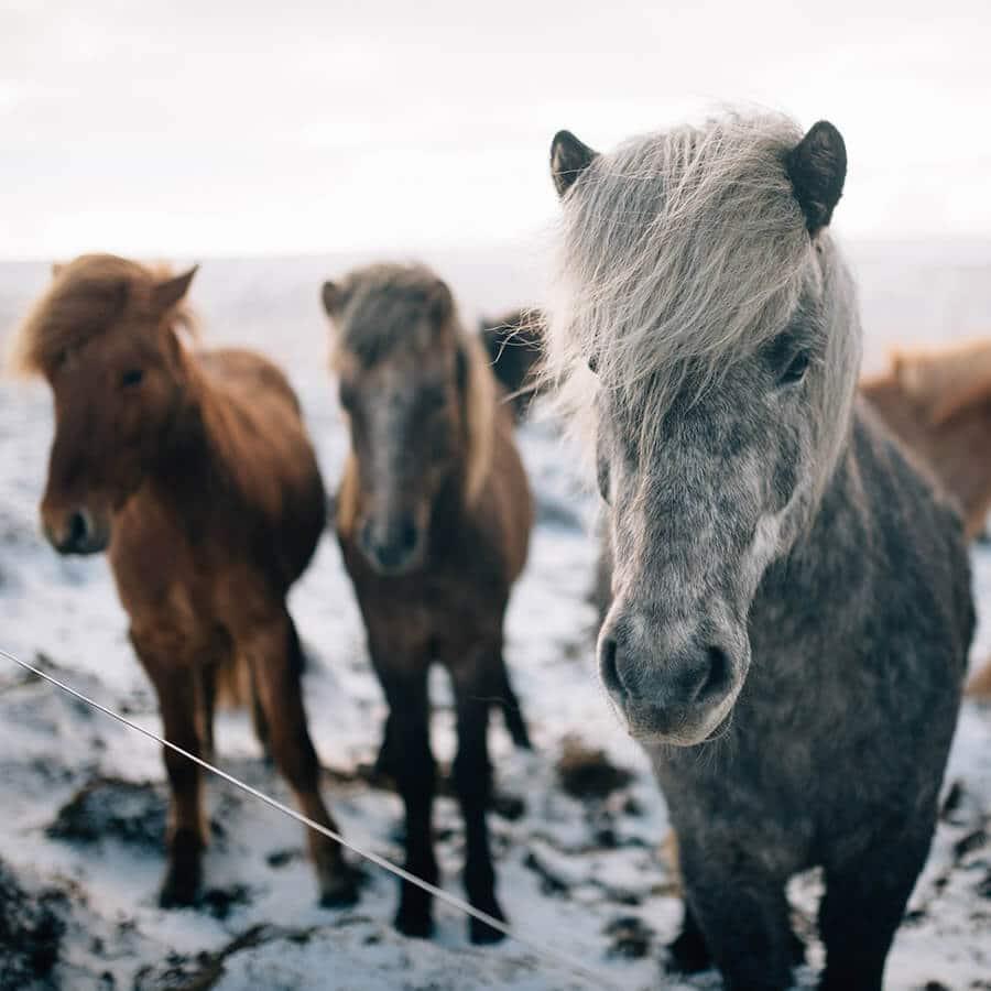 Cute Icelandic horses near a snowy landscape. #iceland #travel
