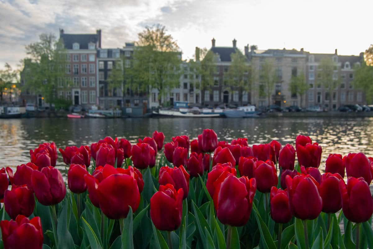 Beautiful view of tulips in Amsterdam. Read what you need to know about sustainable tourism in Amsterdam.