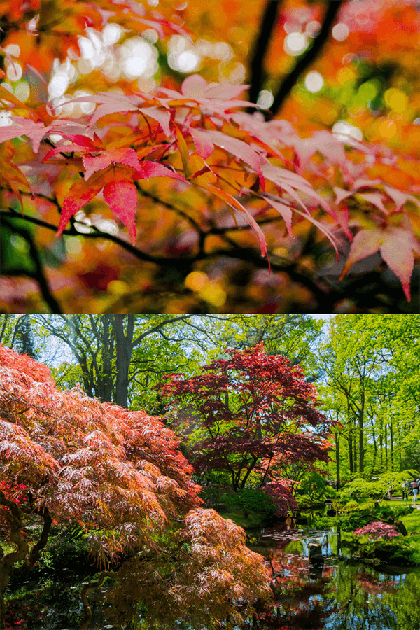 Looking for the most beautiful place in the Hague in spring or fall? Head to the Japanese garden in Den Haag for the gorgeous foliage! #travel  #spring #fall #japanesegarden #denhaag #holland