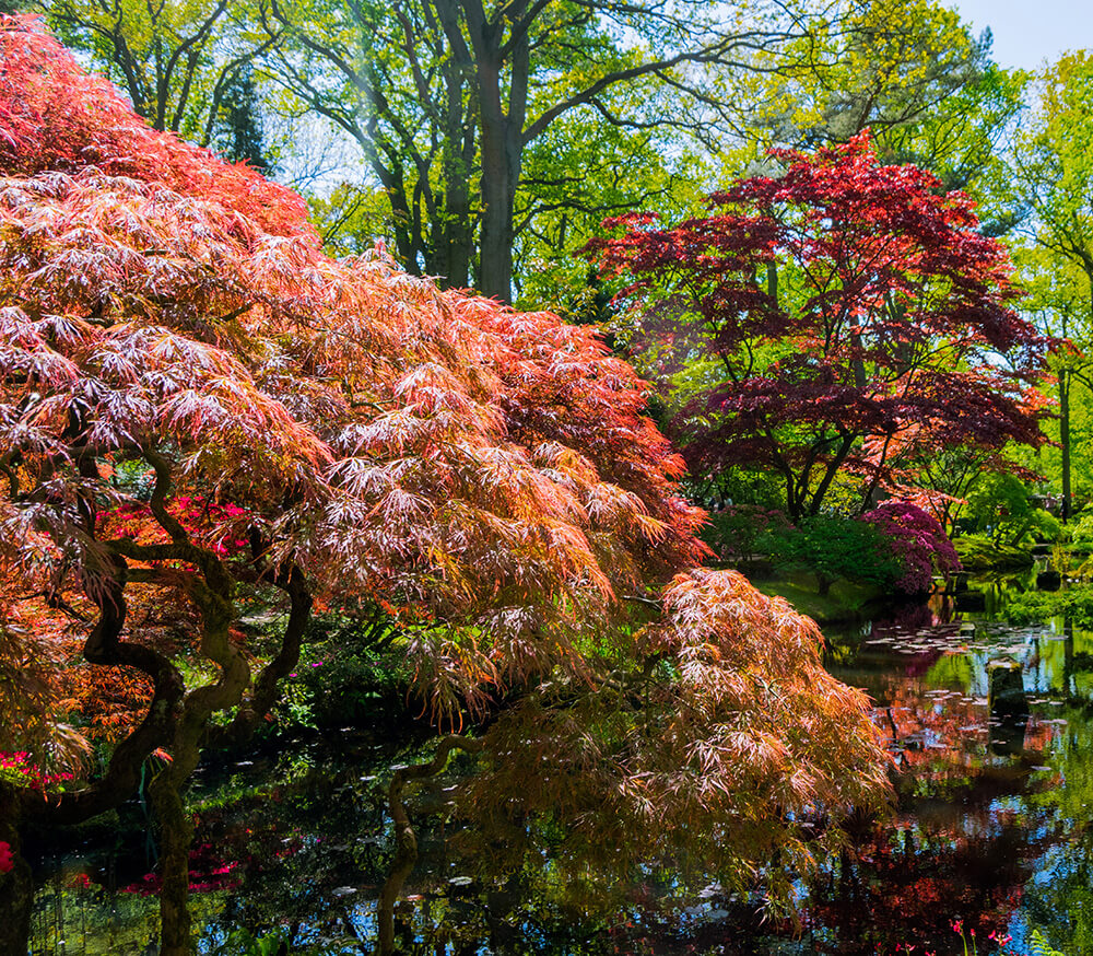 Beautiful trees in bloom at the Japanese Garden in Den Haag in spring. This stunning Japanese garden is a must-see!