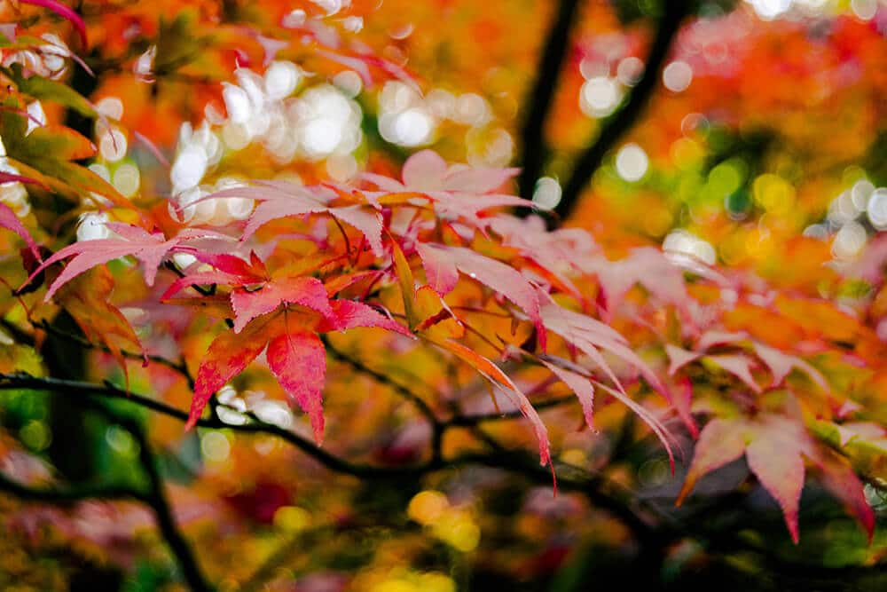Beautiful maple leaves at the Japanese Garden in the Hague in October!