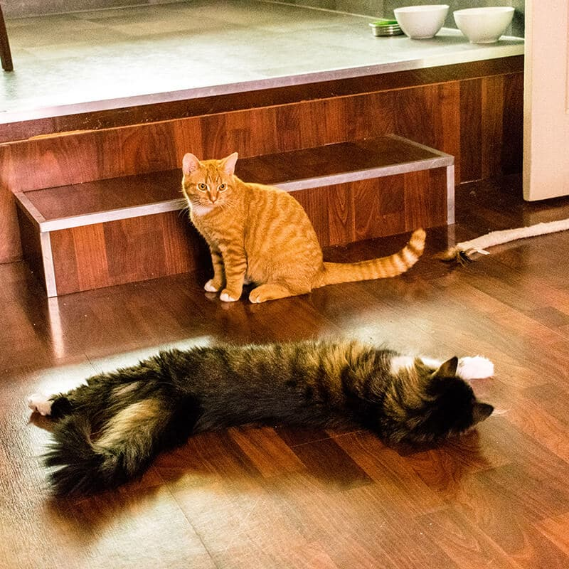 Two adorable rescue cats playing.  One cat was adopted in the Netherlands and one was adopted in the United States!