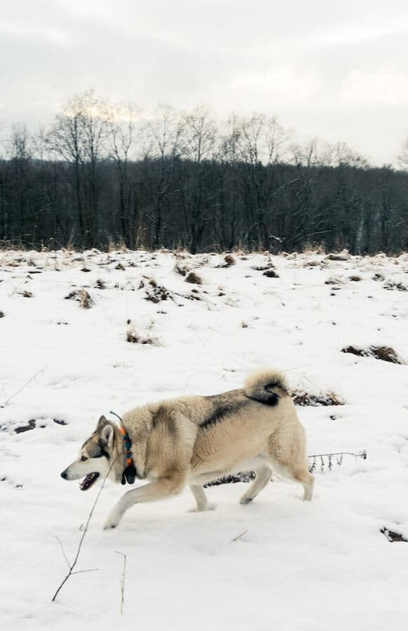 Beautiful siberian dog exploring the snowy landscape of Russia during New Year's Eve. #siberia #dog #travel #russia