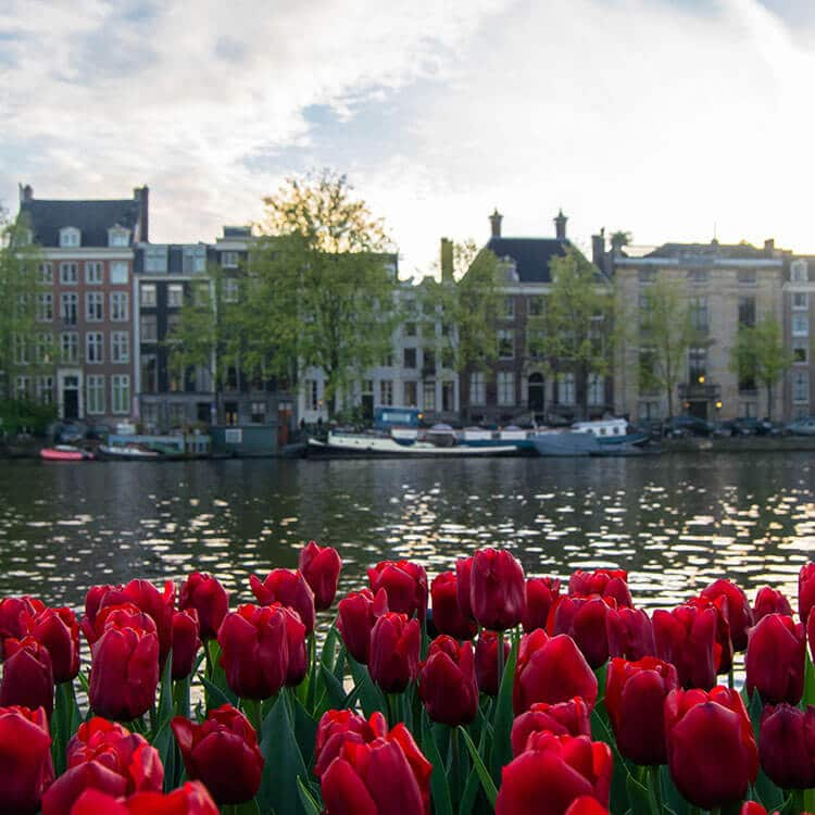 Beautiful tulips along the Amstel, one of the beautiful streets that you can't miss in Amsterdam. #amsterdam #travel #holland