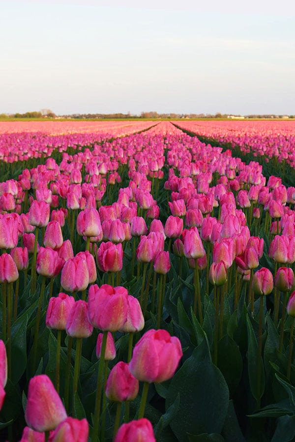 Beautiful pink tulips growing in Overijssel near Giethoorn. You can find free tulip fields to explore in this part of the Netherlands! #travel #netherlands #tulips #giethoorn