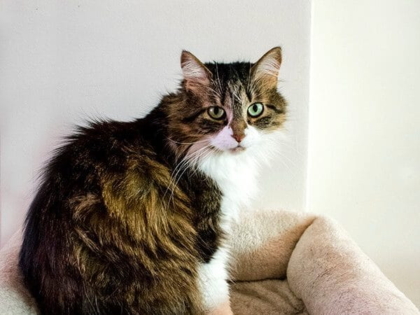 Beautiful cat who has traveled to five countries. Read tips for traveling internationally with your cat! #travel #cat #pettravel
