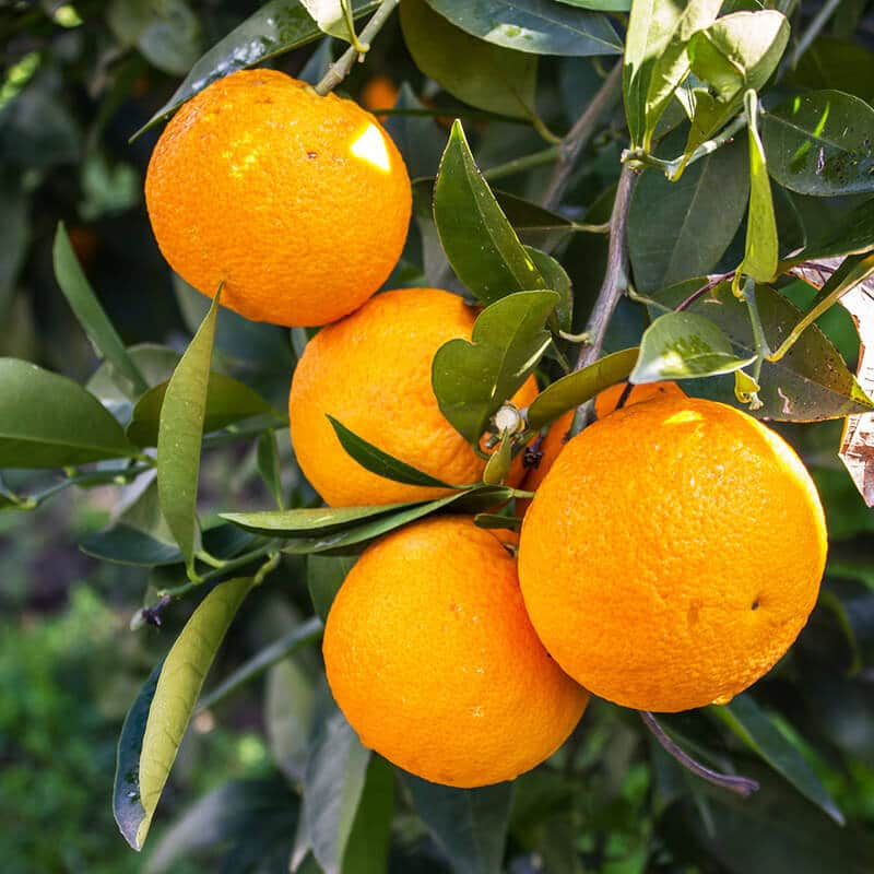 Oranges growing in Central Florida, one of the best places to experience Florida without the crowds.