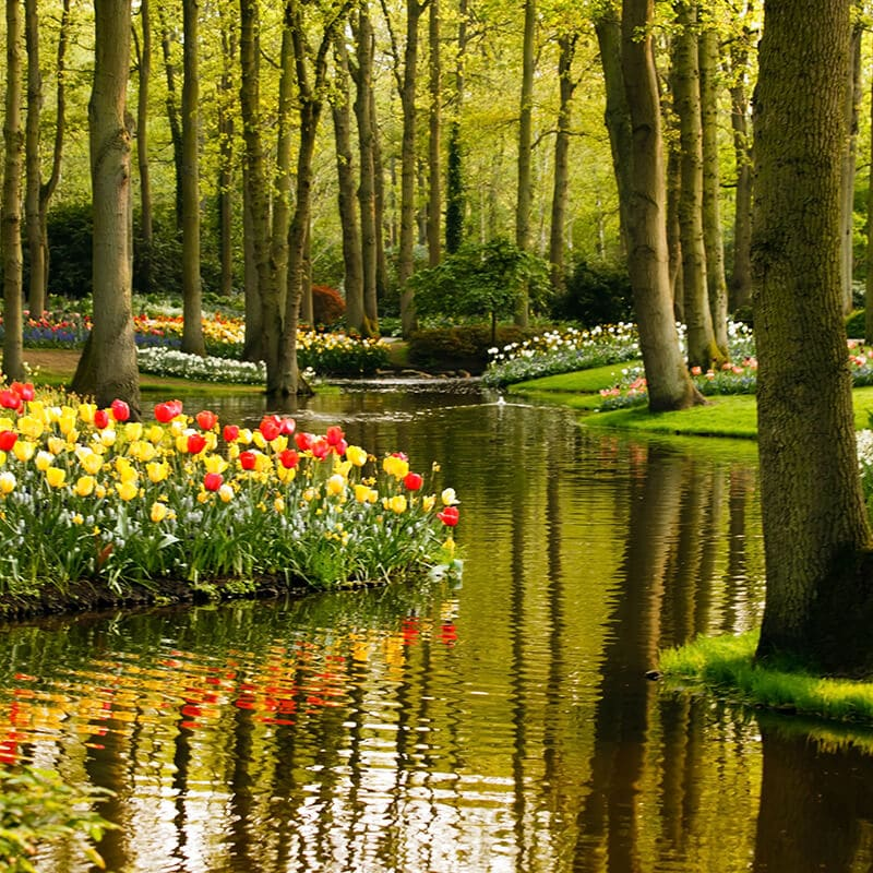 Tulip fields in Keukenhof, one of the most famous places to see the tulips in the Netherlands!