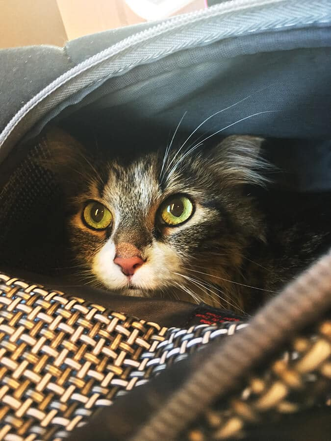 Cute cat in an airline approved cat carrier getting ready to travel on an international flight.  Flying with your cat doesn't need to be scary! #cats #travel