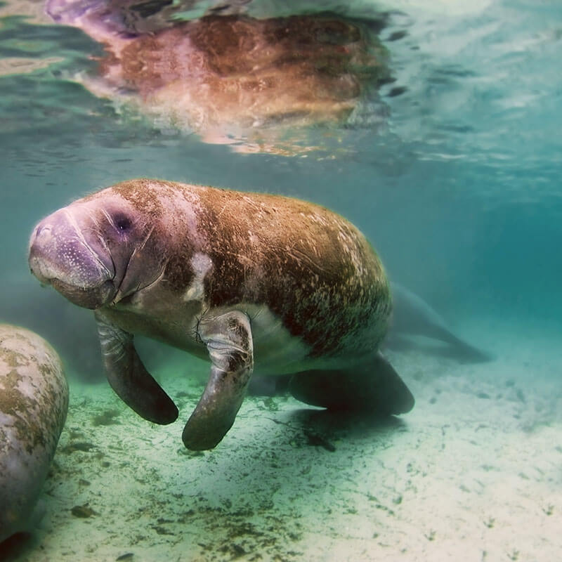 West Indian Manatee at Blue Springs State Park in Florida, one of the best day trips from Orlando! #nature #florida #travel #orlando