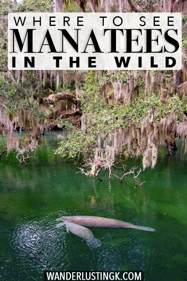 Hoping to see manatees in the wild? Blue Springs State Park in Florida is one of the best day trips from Orlando to see this beautiful animals! #travel #florida #orlando