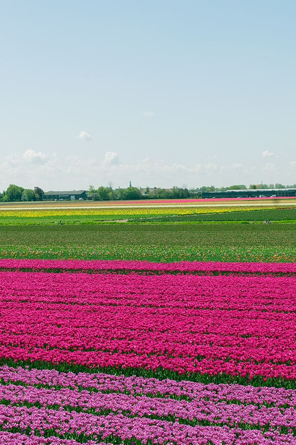 Beautiful Dutch tulip fields near Keukenhof. Read how you can see the tulip fields in the Netherlands for free like a local! #travel #holland #tulips #keukenhof