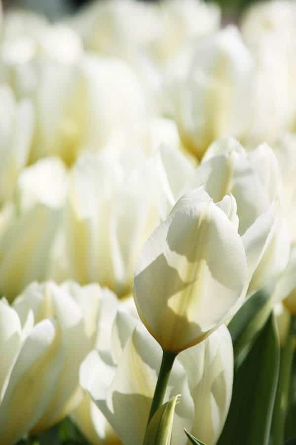 Beautiful white tulips at Keukenhof, the largest tulip garden in the world! #tulips #keukenhof #holland #netherlands #travel