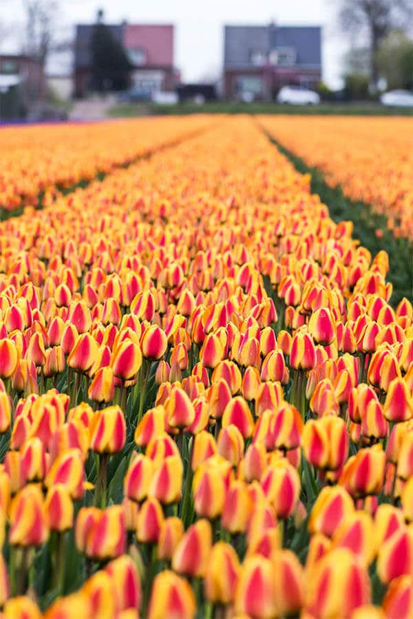 Beautiful rows of tulips within the Bollenstreek, the part of Holland where the tulips grow! This area is where Keukenhof is located.  Read tips for seeing the tulips outside of Amsterdam! #amsterdam #holland #netherlands #bollenstreek #tulips #travel