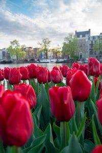 During April, Amsterdam is full of tulips along its canals. If you love tulips, you should visit Amsterdam in spring! #travel #amsterdam #holland