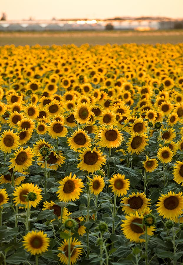 Fields of Sunflowers in Arles France, one of the inspirations for Van Gogh in Arles!