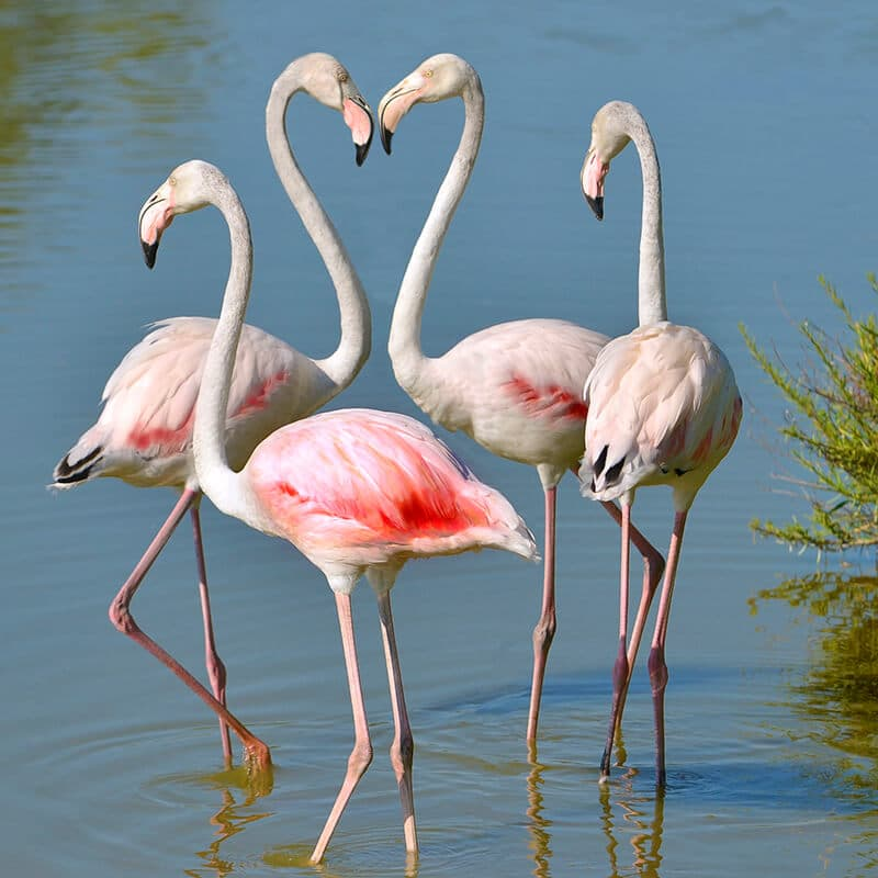 Flamingos in Camargue National Park in France outside of Arles