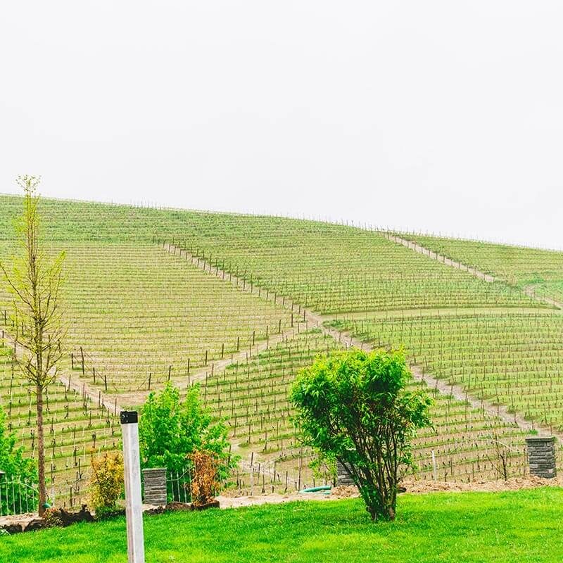 Vineyards growing Nebbiolo in Barbaresco outside of a Piedmont winery