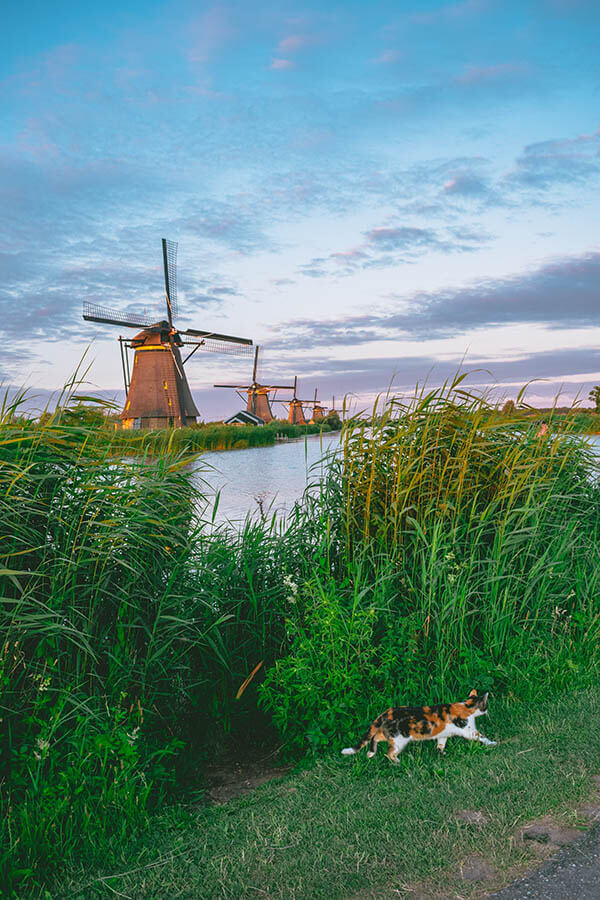 Cat running in front of picturesque windmills at Kinderdijk around sunset with purple hues!