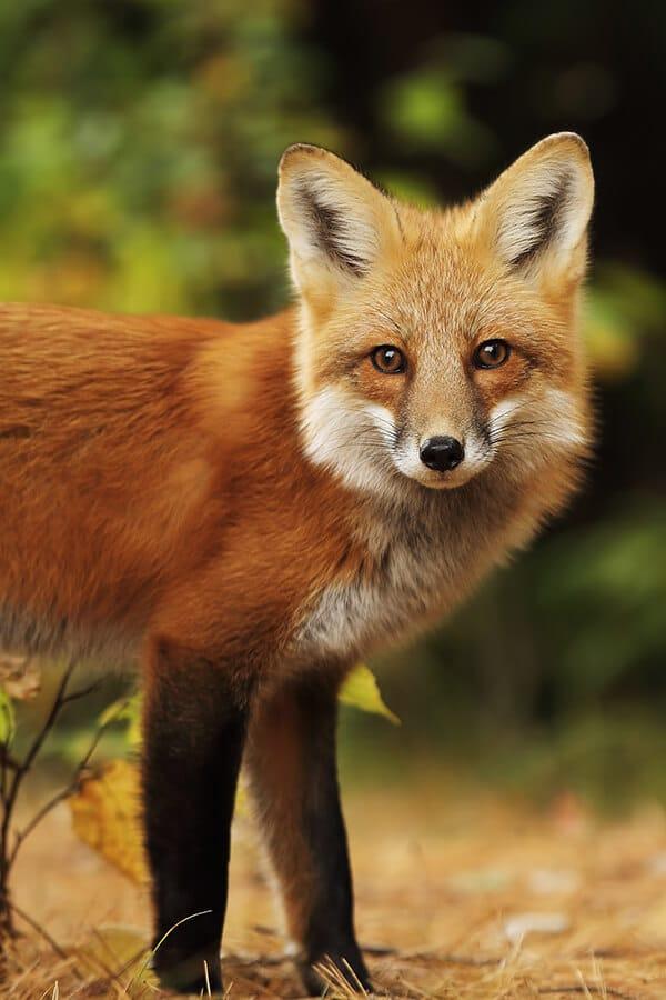 Beautiful red fox on Prince Edward Island